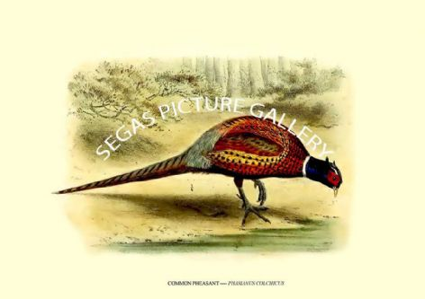 Fine art print of the COMMON PHEASANT ---- PHASIANUS COLCHICUS by J G Keulemans (1869-76)